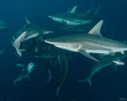 2010-shark-dive-on-aliwal-shoal-curious-oceanic-blacktips